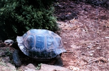 Tortoise at the Charles Darwin Scientific Station