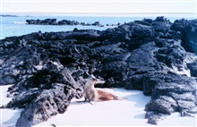 Sea lion on sandy beach with lava rock formations