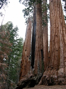 The mighty trunks of giant sequoia trees