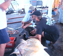 NMFS scientists studying and tagging marine turtle aboard NOAA Ship DAVIDSTARR JORDAN.