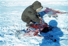 Caribou being butchered and skinned by Eskimo hunter at Leavitt IslandCaribou steak that night and some for the dogs too!