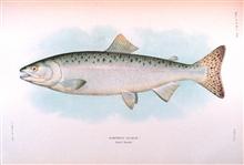 Humpback salmon, adult female.  In:  The Fishes of Alaska.Bulletin of the Bureau of Fisheries, Vol. XXVI, 1906.  P. 360, Plate XXV.