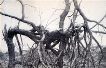 A tornado victim at Omaha found in a tree.  It is possible that this was a posedshot as the victim is relatively clean and there are no apparent tears in hisclothes. As seen in:  Our National Calamity of Fire, Flood, and Tornadoby Logan Marshall, 191