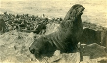 A fur seal.  Probably a young male that has not fought for breeding rights.