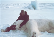 Steve Amstrup of USFWS with large sedated polar bear  - Ursus maritimus.Bears were measured and tagged for future study.  This sedated malewas ready for the WWF with a 45 inch neck and weighing about 1400 pounds.