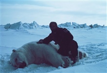 Budd Christman with large sedated polar bear  - Ursus maritimus.Bears were measured and tagged for future study.