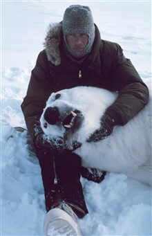 Steve Amstrup with large sedated polar bear  - Ursus maritimus.Bears were measured and tagged for future study.