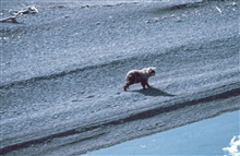 Brown bear - Ursus arctos - on the shore of the Beaufort Sea