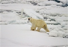 A polar bear (Ursus maritimus) on the ice in the Arctic Ocean northof western Russia.
