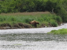 Large Alaska Brown Bear (Ursus arctos) waiting for dinner to swim by.