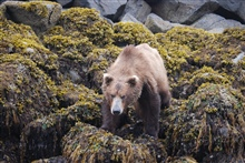 This marine fauna wasn't in the textbooks I read.  Alaska Brown Bear (Ursusarctos).  Tidepooler's nightmare.