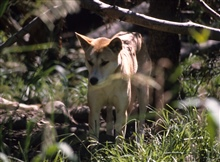 Dingo (Canis lupus dingo) Australian wild dog or warrigal as it is called.