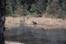 Brown bear at water's edge.