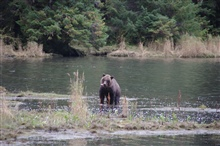 Brown bear fishing.