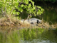 A very large alligator in a mangrove swamp area