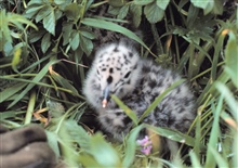 Spotted gull chick hiding in the grass.