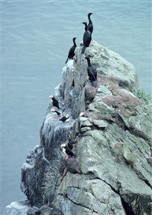 Red-faced cormorants and horned puffins - Fratercula corniculata.