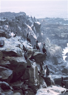 Red-faced cormorants.