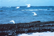 White terns or fairy terns, Gygis alba, in flight.