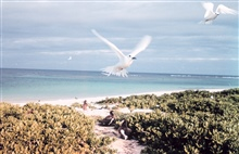 White terns or fairy terns, Gygis alba, in flight.  Laysan albatross chickson ground.