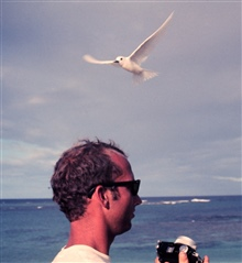 White terns or fairy terns, Gygis alba, in flight over the head of Jim McVey.