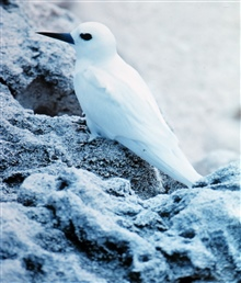 White tern or fairy tern chick, Gygis alba.