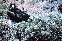 A male frigate bird (Frigata minor) with waddle deflated.