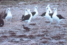 Laysan duck walking between Laysan albatrosses.  Note the size differential.