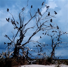 Multiple tropical marine bird species using available remains of trees forperching.