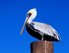 Brown pelican perched on a piling.
