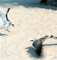 Now, now, children, act nicely towards each other.  Agressive gull chases off aless intrepid gull.