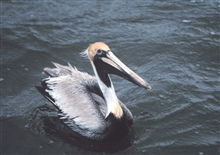A Brown Pelican cruises close for a look at the photographer.