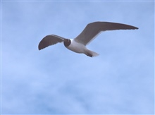 A laughing gull rides the wind over the NOAA Ship FERREL.
