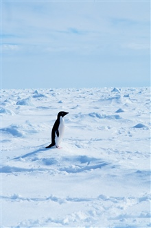 Adelie penguins walking on sea ice in the Ross Sea.