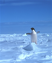 Adelie penguin on the sea ice.