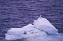 Chinstrap penguins wave to the SURVEYOR as it tracks south to the Southern Ocean.
