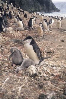 Chin strap penguin and chicks.