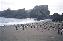 Chin strap penguin rookery.