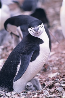 Chinstrap penguin and chick.
