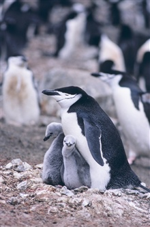 Chinstrap penguin and chicks.