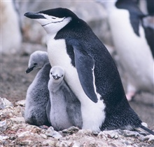 Chinstrap penguin and chicks (closeup).
