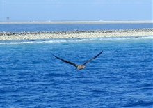Clipperton Island, a classic atoll.  Boobie in flight and lone palm tree acrosslagoon of Clipperton Island.