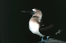 A blue-footed booby stops for a rest on the NOAA Ship RESEARCHER.
