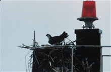An osprey guarding its nest on a Coast Guard navigation aid.
