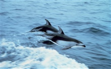 Pacific white-sided dolphin leaping.  Lagenorhynchus obliquidens.