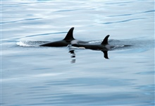 Killer whales - Orcinus orca - Maverick with his wingman Iceman.