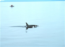 Marine mammal observers watching mother killer whale and calf - Orcinus orca.