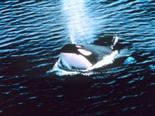 Killer whale blowing - Orcinus orca.