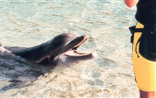 Tame dolphin at tourist facility.