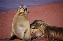 Mother sea lion and pup love - a remarkable display of affection.  Photo #6 ofsequence.